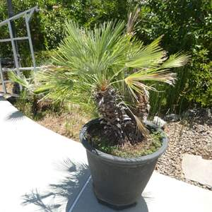 Lot # 429 - Potted Palm Tree (On Plant Dolly)