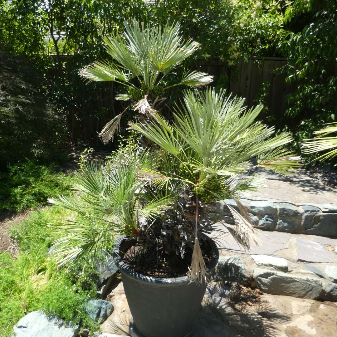 Lot # 430 - Potted Palm Tree (On Plant Dolly) (main image)