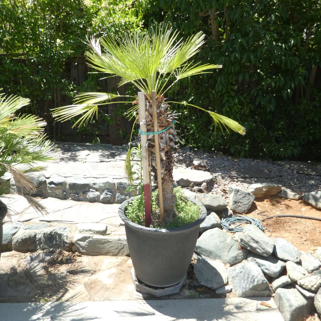 Lot # 431 - Potted Palm Tree (On Plant Dolly) (main image)