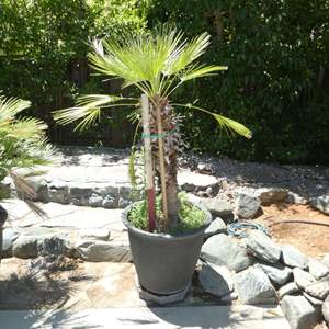 Lot # 431 - Potted Palm Tree (On Plant Dolly)