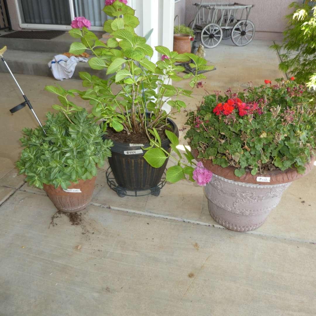 Lot # 444 - Three Nice Potted Plants (main image)