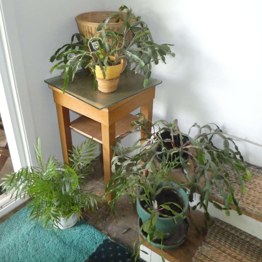 Lot # 128 -  House Plants ( Christmas Cactus's, & Palm) w/ Wood Stand  (main image)