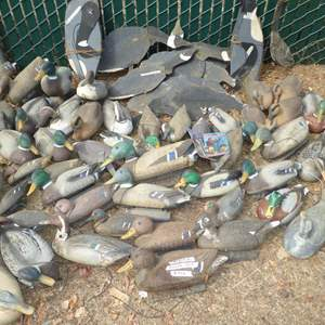 Lot # 436- Huge Lot of Duck & Geese Decoys