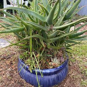 Lot # 502 - Large Potted Plant