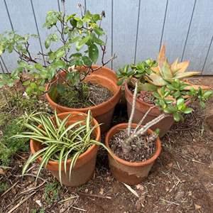 Lot # 508 - Terra Cotta Potted Plants