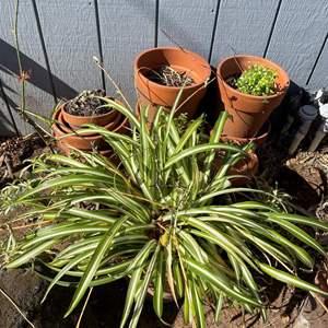 Lot # 513 - Terra Cotta Pots w/plants - Various Sizes