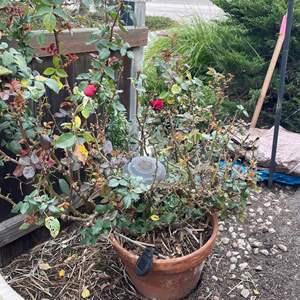 Lot # 533 - Large Terra Cotta Potted Roses Bushes