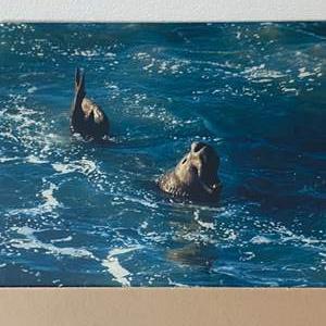 Lot # 39 - 10x14 Elephant Seal Ralph Wessel, Artist Photo Print