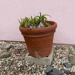 Lot # 69 - Terra-cotta pot with plant… She's a beauty