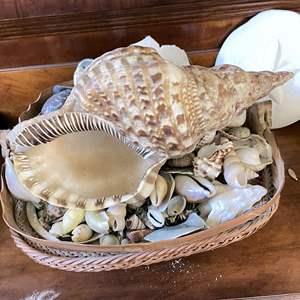 Lot # 20 - Large and Small Seashells